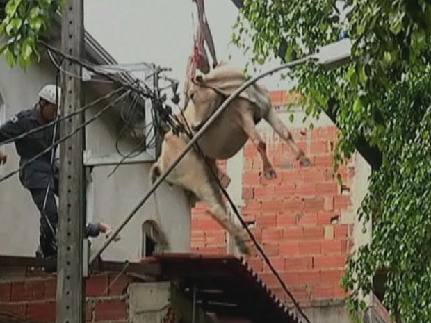 Vaca cai sobre telhado de casa em Minas