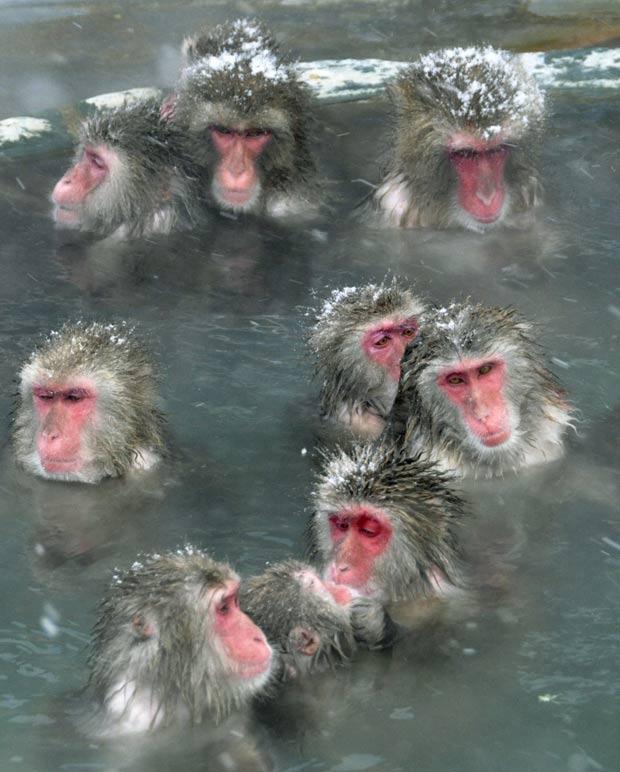 Para escapar do frio, macacos tomam banho em fonte de água quente em Hakodate, na ilha de Hokkaido, no norte do Japão.