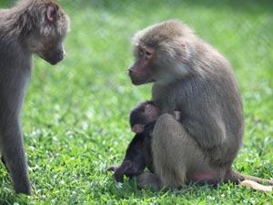 Babuíno tem cerca de um mês e recebe cuidados ao lado da família (Foto: Maurilio Cheli/SMCS )