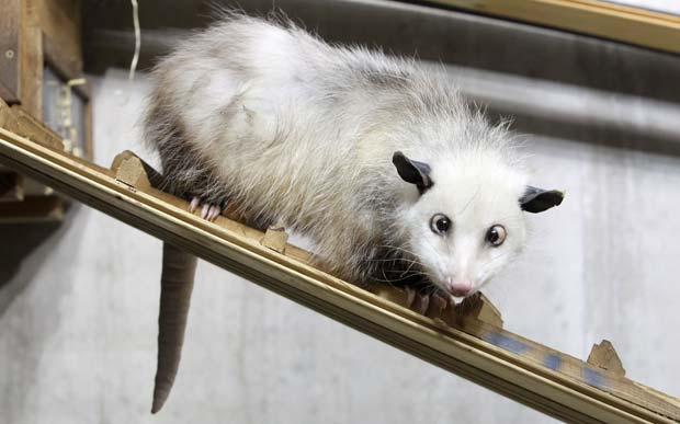Após examinar uma gambá que veio de Dinamarca, os veterinários do zoológico de Leipzig, na Alemanha, descobriram que a gambá chamada 'Heidi' é vesga.