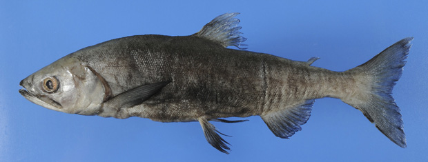 A Universidade de Kyoto, no Japão, divulgou nesta quarta-feira (15) esta foto de uma espécie de salmão considerada extinta há 70 anos. O peixe vive em lago perto do Monte Fuji.