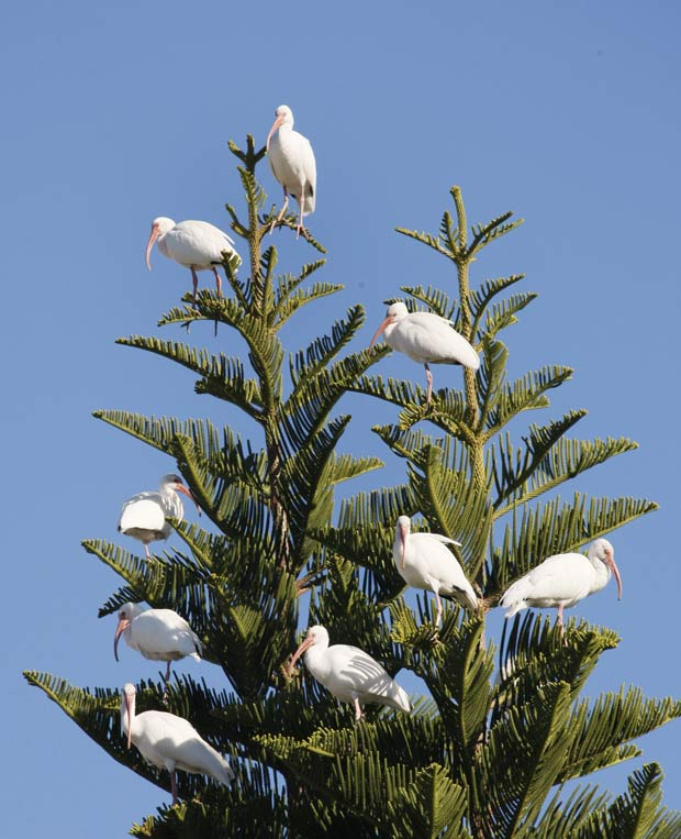 Bando de íbis 'ornamenta' pinheiro em Surfside, no estado da Flórida.