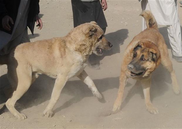 Cães enfrentam-se em briga em Cabul, capital do Afeganistão, nesta sexta-feira (17).