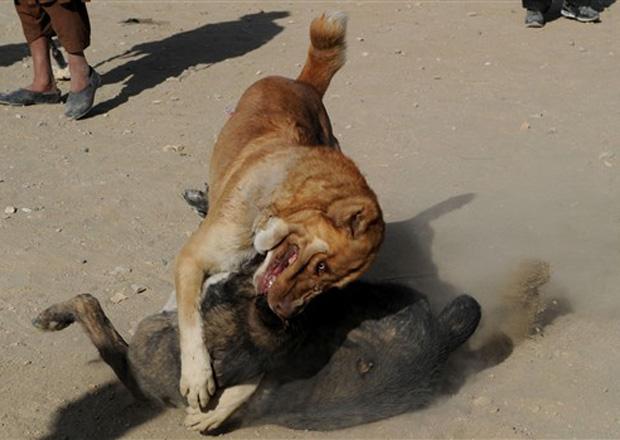 A briga de cães era proibida durante o regime do Talibã, mas agora é legal e atrai público, todas as sextas-feiras, entre novembro e março. Os prêmios pela vitória podem chegar a milhares de dólares.