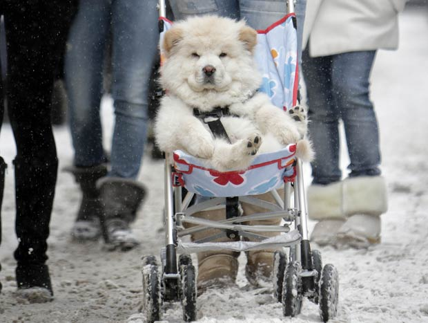 Um cachorro da raça husky foi flagrado sendo transportado em um carrinho de bebê, nesta sexta-feira (17), no Centro de Bucareste, na Romênia.