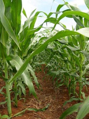 Híbridos com tecnologia Roundup Ready permitem controlar, de forma mais eficaz, as plantas daninhas que competem com a cultura do milho por água, luz e nutrientes, segundo a Monsanto.