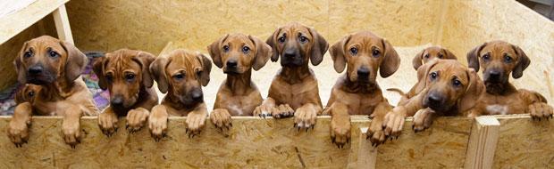 Cadela dá à luz 17 filhotes na Alemanha.