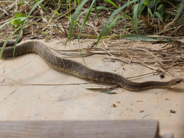 Cascavel que escapou de serpentário é capturada no interior de São Paulo