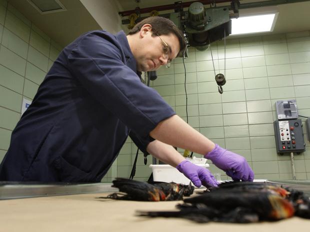Veterinário analisa os cadáveres de pássaros achados mortos no Arkansas, nesta segunda-feira (3), em Little Rock.