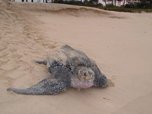 Praias do Atlântico Sul são locais nos quais tartarugas-de-couro costumam estar.