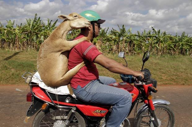 Um cubano foi flagrado na quinta-feira (6) em Havana, capital do país, carregando um carneiro em uma moto.