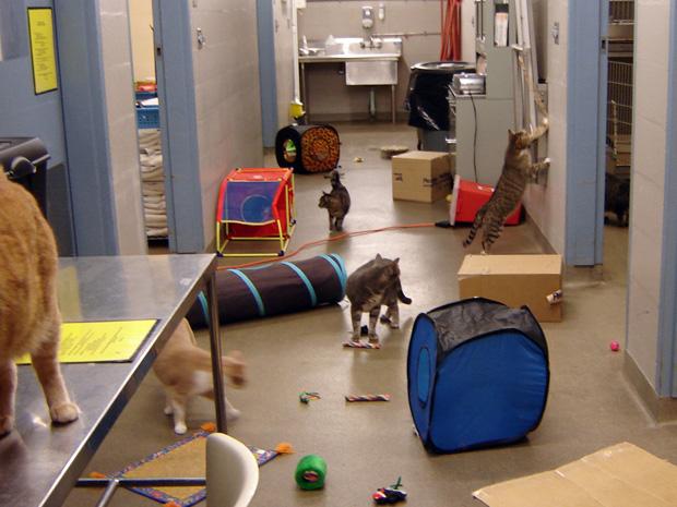 Gatos brincam em laboratório veterinário da Ohio State University. O laboratório foi adaptado para uma pesquisa sobre estresse animal. A pesquisa acompanhou 32 gatos durante três anos apurou que muitos gatos adoecem por causa do estresse e acabam abandonados ou sacrificados por seus donos.