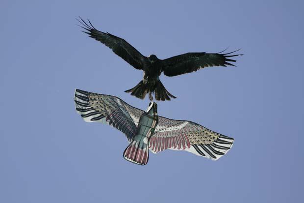 Ave foi flagrada atacando pipa em formato de pássaro.