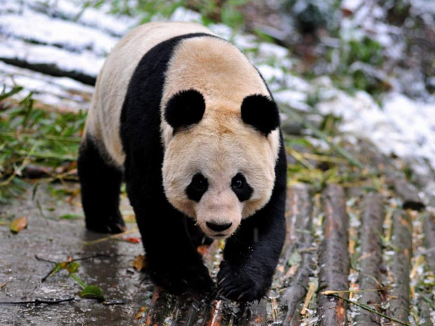 pandas (Foto: AP)