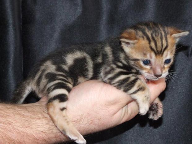 O gatinho Tiger foi deixado em um hotel de Londres