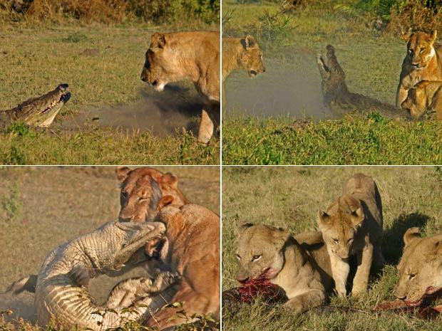 Leoas atacam crocodilo