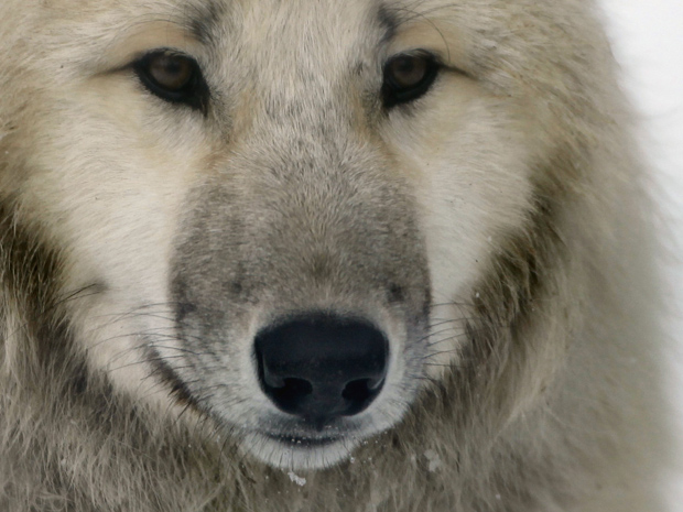Lobo é visto no zoológico de Berlim, na Alemanha, em 27 de dezembro.