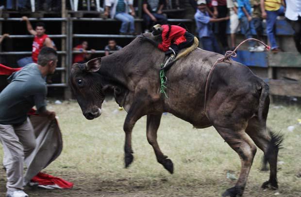 Macaco monta em touro durante tourada.