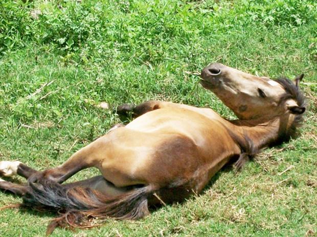 Cavalo ficou deitado após ser ferido por cachorro