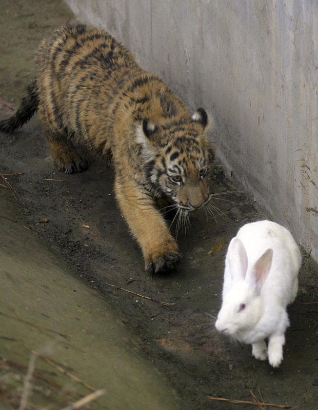O coelho foi colocado na jaula como um 'treinamento' para estimular os instintos caçadores de dois pequenos felinos, segundo a mídia local. Mais ágil, ele sobreviveu aos 'ataques' dos filhotes.
