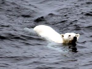 Urso gelo 1