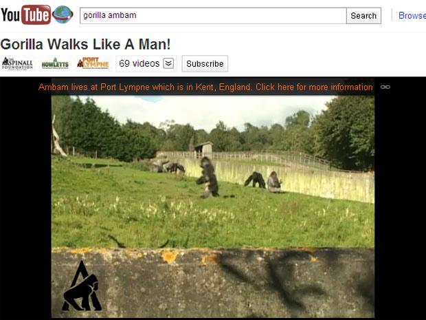 Vídeo mostra o gorila Ambam durante caminhada pelo parque em Kent