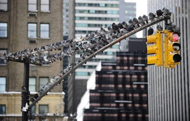 Dezenas de pombos superlotaram um semáforo na cidade de Nova York, nos EUA. A cena foi registrada na última quinta-feira (27) pelo fotógrafo Emmanuel Dunand.