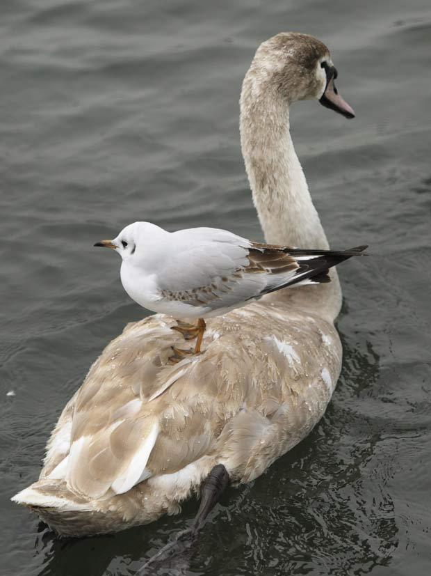 Gaivota é flagrada 'pegando' carona em cisne