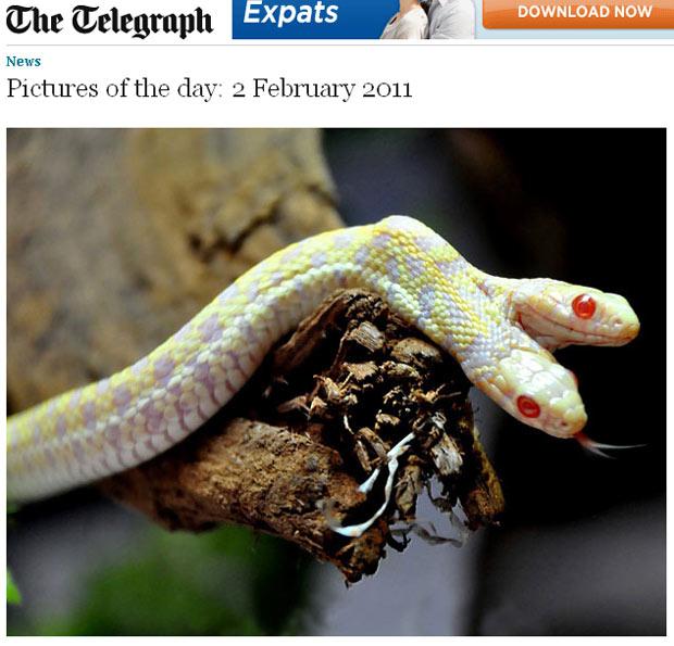 Cobra albina duas cabeças 1