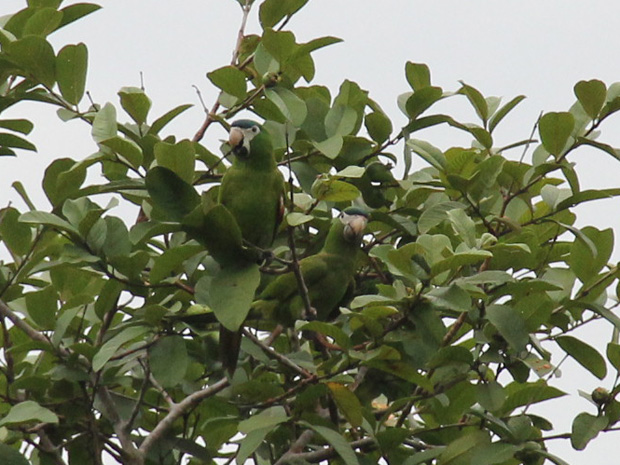 Duas maracanãs pequenas em árvore no Ibirapuera (Foto: Paulo Toledo Piza/G1)