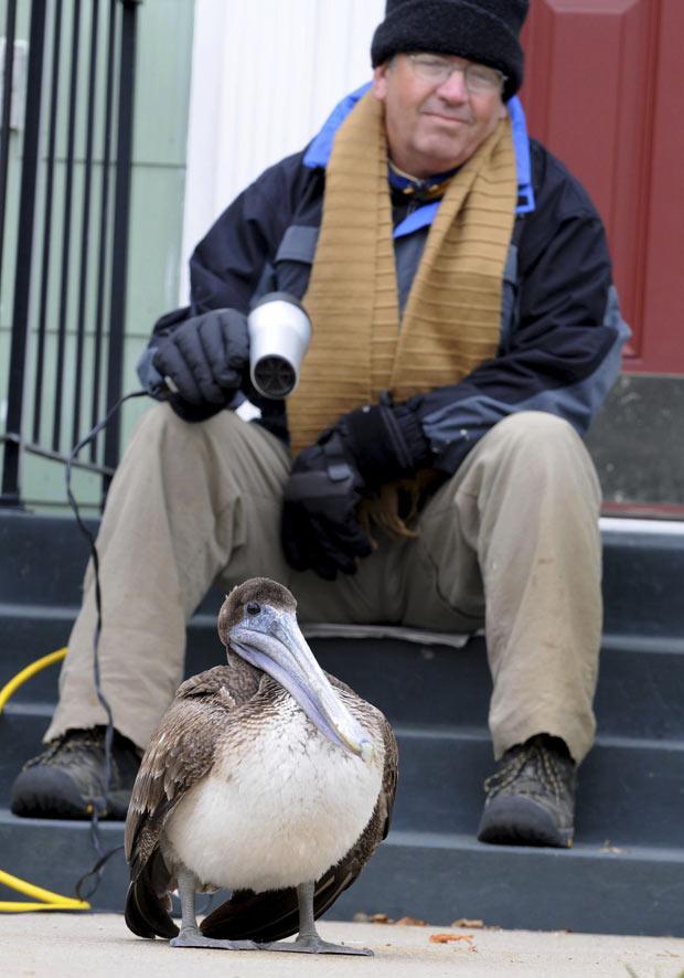 Gary Gorton usou um secador de cabelo para aquecer um pelicano que pousou em sua varanda. (Foto: AP)