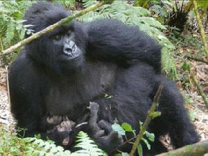 Gorila gêmeos 1 (Foto: Gorilla Organization)