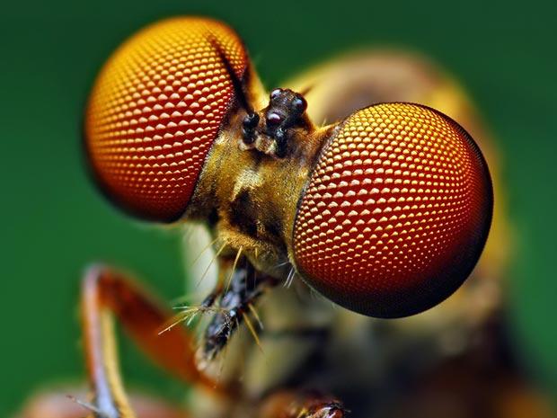 Aranhas moscas 2 (Foto: Thomas Shahan / www.thomasshahan.com)
