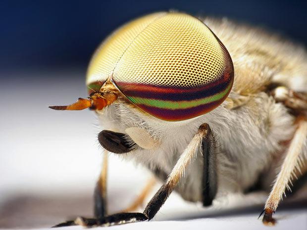 Aranhas moscas 3 (Foto: Thomas Shahan / www.thomasshahan.com)