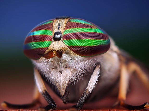 Aranhas moscas 4 (Foto: Thomas Shahan / www.thomasshahan.com)