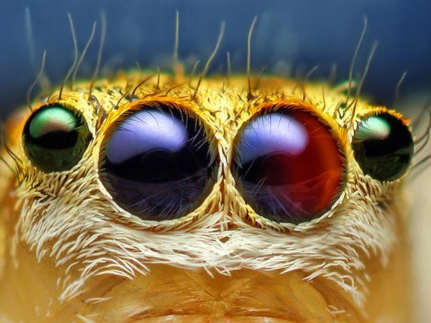 Aranhas moscas 7 (Foto: Thomas Shahan / www.thomasshahan.com)