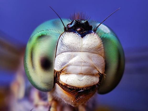 Aranhas moscas 8 (Foto: Thomas Shahan / www.thomasshahan.com)