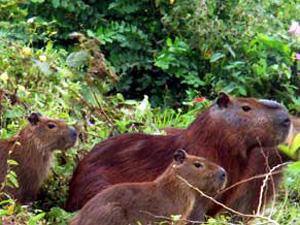 Capivaras podem ser sacrificadas em Campinas, no interior de SP (Foto: Reprodução/ EPTV)