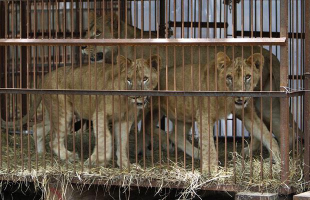 Leões (Foto: AP)