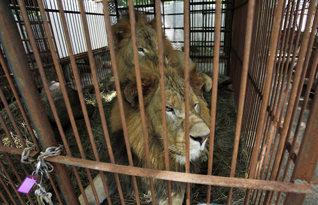 Leões 2 (Foto: AP)