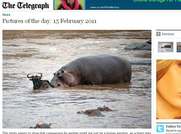 Hipopótamo foi flagrado tentando salvar um gnu no Quênia. (Foto: Reprodução/Daily Telegraph)