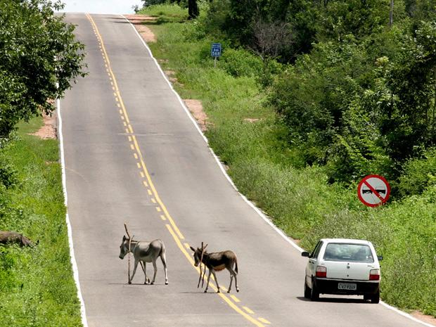 Animais e carros dividem espaço na BR 135, na Bahia. (Foto: Hugo Harada/Gazeta do Povo)