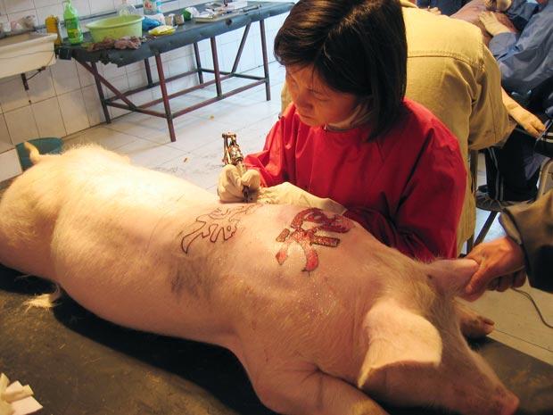 Tatuadora faz tatuagem em porco. (Foto: Wim Delvoye/Barcroft Media/Getty Images)