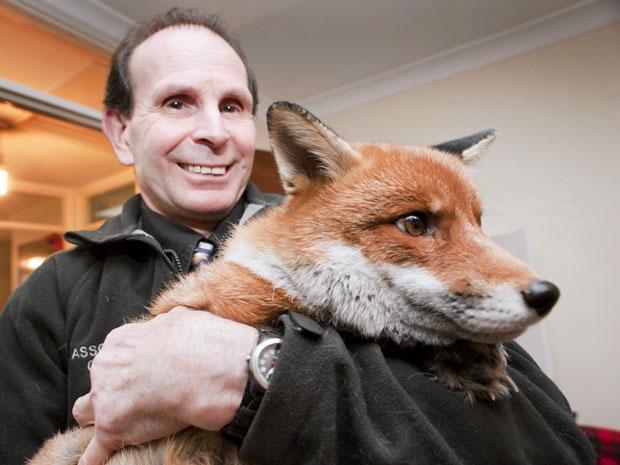 O britânico Steve Edgington, dono de uma pet shop, mostra Miss Snooks, sua raposa de estimação, em Hassocks. Ele afirmou que Miss Snooks é um bom animal de estimação e que leva 'uma vida de cachorro'. Steve, de 57 anos, e sua mulher, Nola, de 56, adotara (Foto: Andrew Hasson/Barcroft Media/Getty Images)
