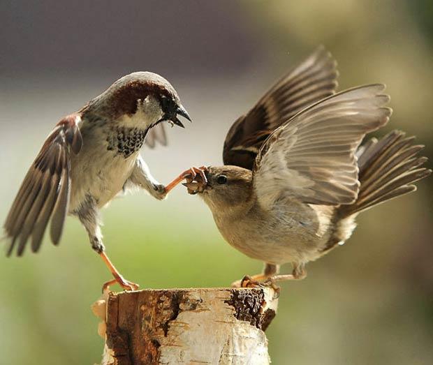Dois pardais foram flagrados em 2010 lutando por comida em um jardim em Scherz, na Suíça. (Foto: Urs Schmidli/Barcroft Media/Getty Images)