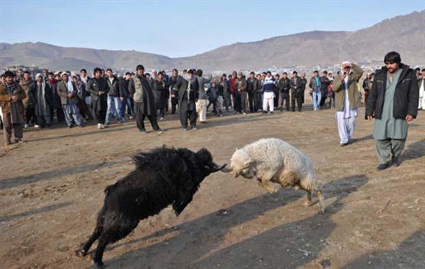Briga entre carneiros ocorreu na capital Cabul. (Foto: Massoud Hossaini/AFP)