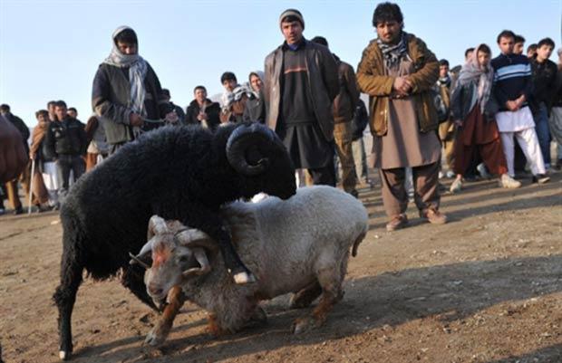 Briga de carneiros é um dos passatempos inusitados do Afeganistão. (Foto: Massoud Hossaini/AFP)