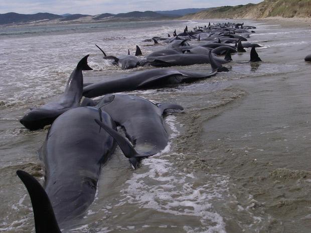 107 baleias encalham e morrem na Nova Zelândia (Foto: Reuters)