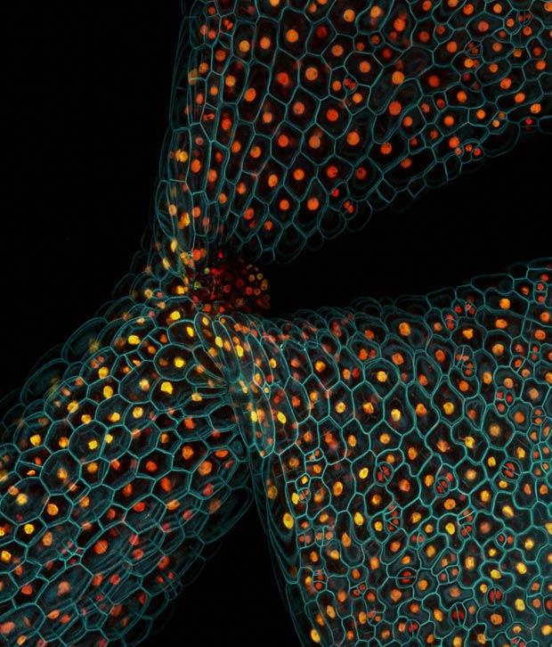 Proteínas no caule de uma planta Arabidopsis thaliana (Foto: Fernan Federici e Lionel Dupuy/Wellcome Images)