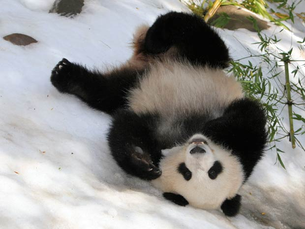 Panda chamada 'Su Lin' se diverte na neve artificial. (Foto: Karl Drilling/Barcroft USA/Getty Images)